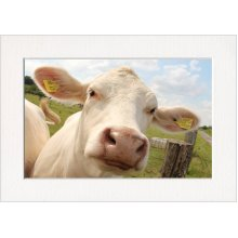Curious Cow Face Print in a Textured Card Picture Mount to put into your own frame