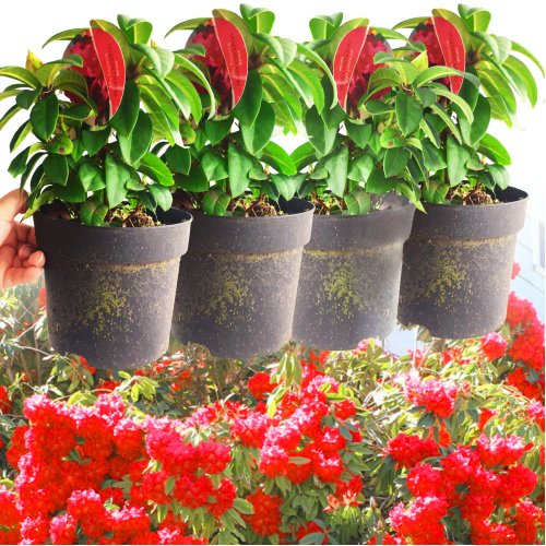 4 Rhododendron Red Jack Plant in Pot Hardy Evergreen Garden Flower Shrub Outdoor Tree for Entryway Border