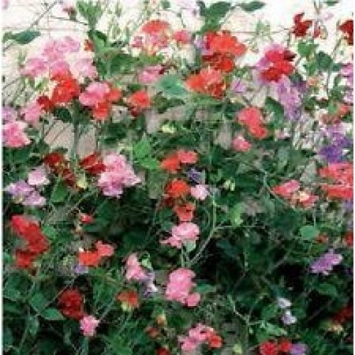 Flower - Sweet Pea - Giant Spencer Wave Mix - 100 Seeds