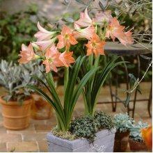 Egrow 2Pcs Home Garden Hippeastrum Striatum Flower Seeds Bonsai Flower Decor