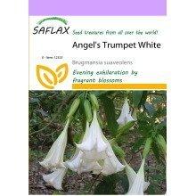 Saflax  - Angel's Trumpet White - Brugmansia Suaveolens - 10 Seeds