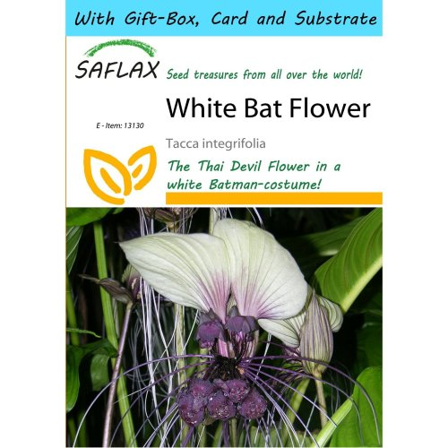 Saflax Gift Set - White Bat Flower - Tacca Integrifolia - 10 Seeds - with Gift Box, Card, Label and Potting Substrate