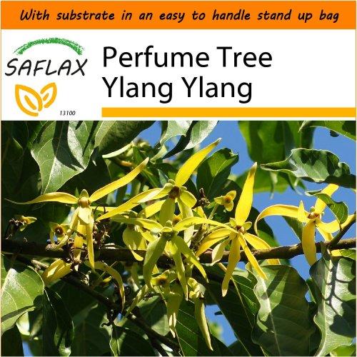 SAFLAX Garden in the Bag - Perfume Tree Ylang Ylang - Cananga - 10 seeds
