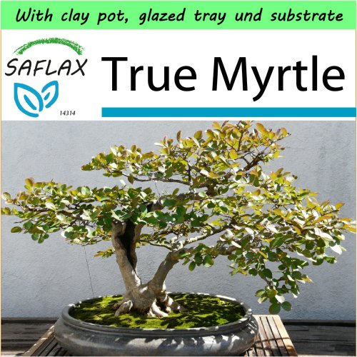SAFLAX Garden to Go - Bonsai - True Myrtle - Myrtus - 30 seeds