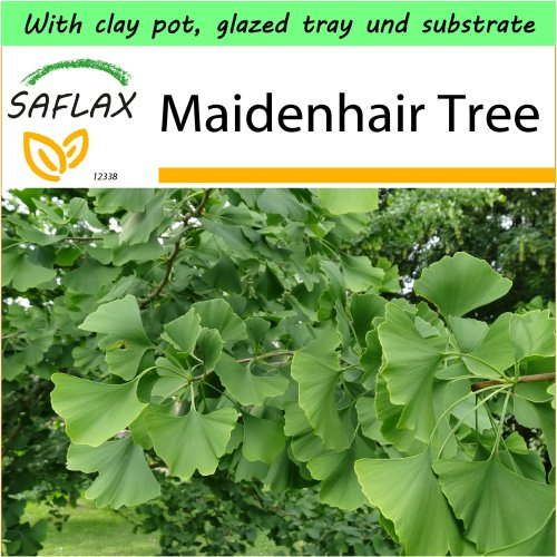 SAFLAX Garden to Go - Maidenhair Tree - Ginkgo biloba - 4 seeds - With clay pot, glazed tray, substrate and fertilizer