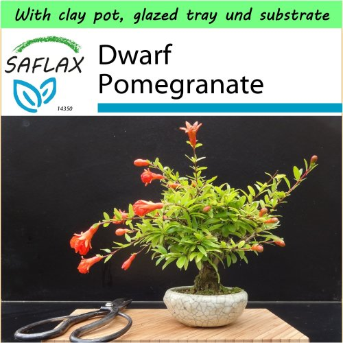 SAFLAX Garden to Go - Bonsai - Dwarf Pomegranate - Punica - 50 seeds