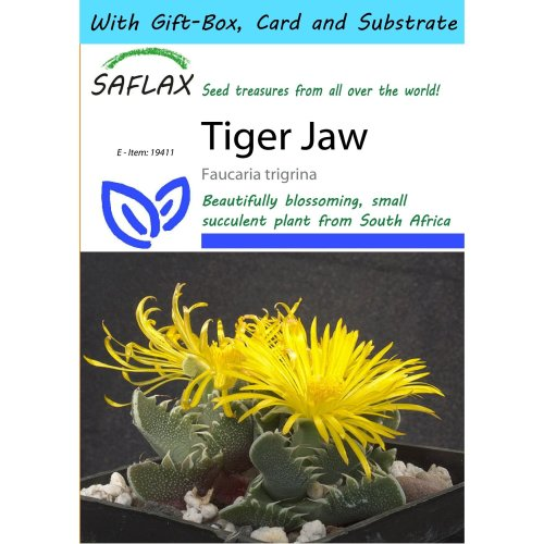 Saflax Gift Set - Tiger Jaw - Faucaria Trigrina - 40 Seeds - with Gift Box, Card, Label and Potting Substrate