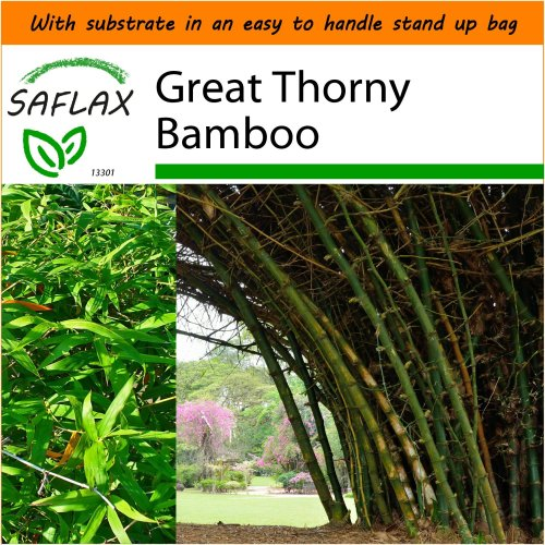 SAFLAX Garden in the Bag - Great Thorny Bamboo - Dendrocalamus - 50 seeds