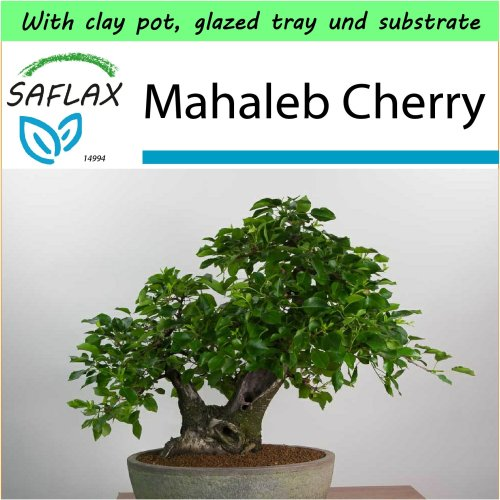 SAFLAX Garden to Go - Bonsai - Mahaleb Cherry - Prunus - 30 seeds